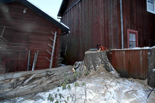 Trädfällning av alm