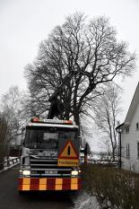 Nedmontering av lind invid hus