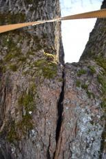 Akut trädfällning av lönn