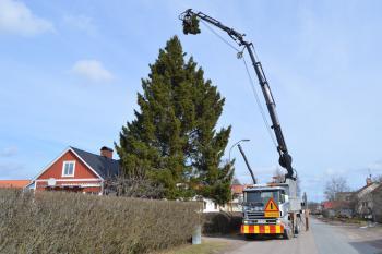 Trädfällning av gran