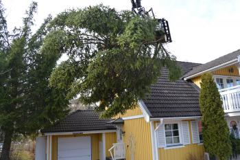 Trädfällning av gran mellan hus