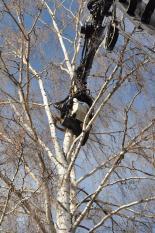 Nedmontering av björk i Falun