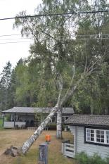 Bortplockning av fastfälld björk nära friggebod och el-ledning